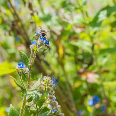 stamen wasp: A macro shot of a bumblebee collecting pollen from a green alkanet bloom.