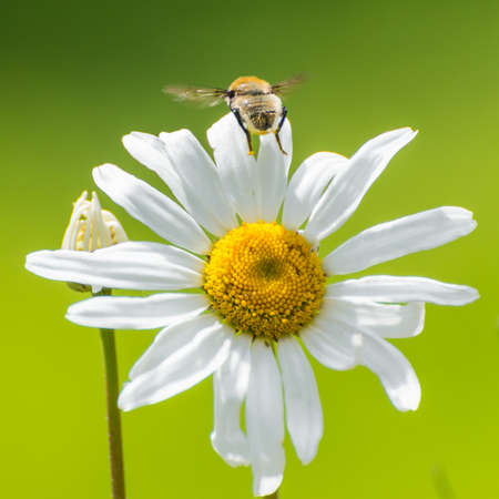 ox eye: A shot of a hoverfly leaving an ox eye daisy.