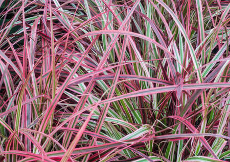 An abstract shot of some pennisetum grasses.