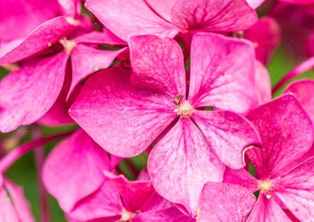 magenta: A macro shot of a magenta coloured hydrangea bloom. Stock Photo