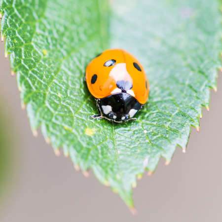 septempunctata: A macro shot of a seven spotted ladybird sitting on a green leaf.