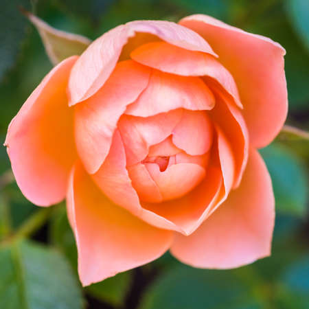 rose coloured: A macro shot of a salmon coloured patio rose. Stock Photo
