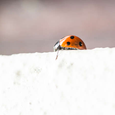 coccinella: A macro shot of a ladybird on top of a wall.