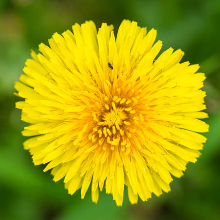 A macro shot of a yellow dandelion bloom. Stock Photo