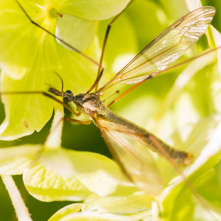 crane fly: A macro shot of a crane fly sitting in the bracts of a hydrangea flower head.