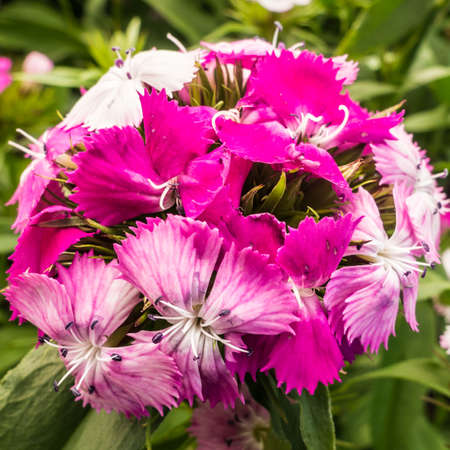 william: A macro shot of a magenta coloured sweet william bloom. Stock Photo