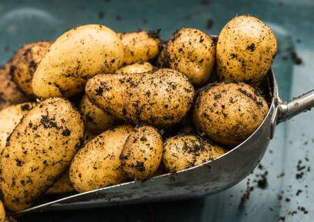 tuberosum: A shot of some freshly dug charlotte potatoes sitting on a trowel.