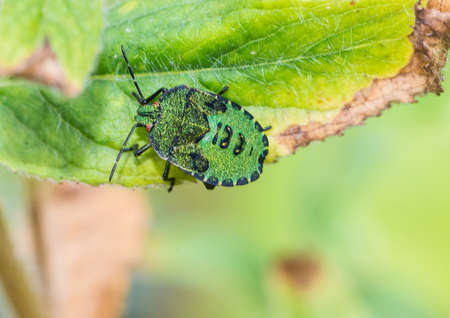 shieldbug: A macro shot of a shield bug settling on a green leaf. Stock Photo