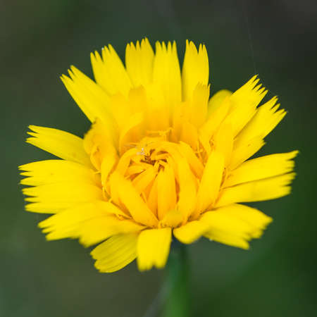 anther: A macro shot of a yellow coreopsis bloom.