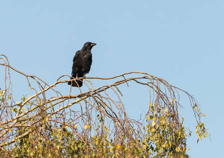 corvidae: A shot of a rook sitting at the top of a tree.