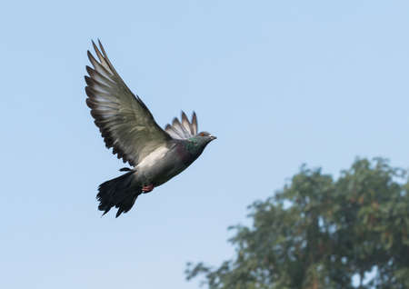 feral: A feral pigeon takes to the skies.