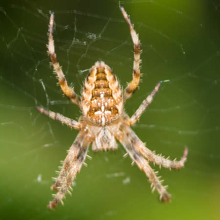 orb weaver: A macro shot of a garden spider sitting in its web.