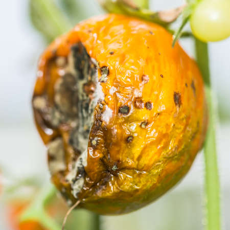 decaying: A macro shot of a decaying tomato.