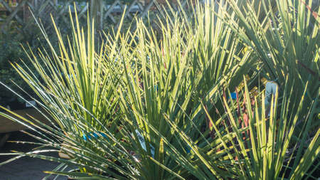 cordyline: A shot of the light and shadow falling amongst some cordyline grasses.