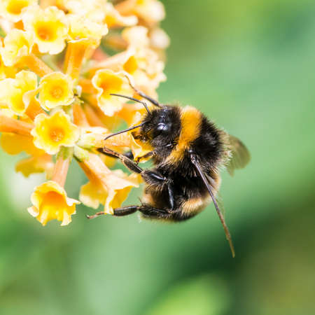 A macro shot of a bumblebee collecting pollen from a butterfly bush.