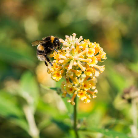 bumblebee: A macro shot of a bumblebee collecting pollen from a yellow butterfly bush bloom. Stock Photo