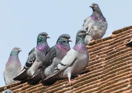 feral: A shot of some feral pigeons sitting on the roof of a house.