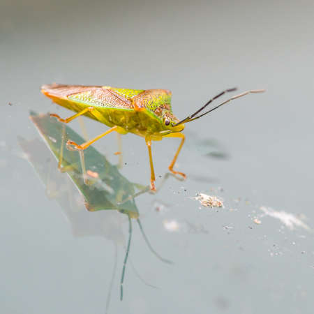shield bug: A macro shot of a shield bug sitting on a metallic surface. Stock Photo