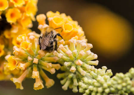 stamen wasp: A macro shot of a bumblebee collecting pollen from a yellow butterfly bush bloom. Stock Photo