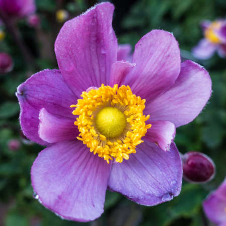 A macro shot of a japanese anemone. Stock Photo