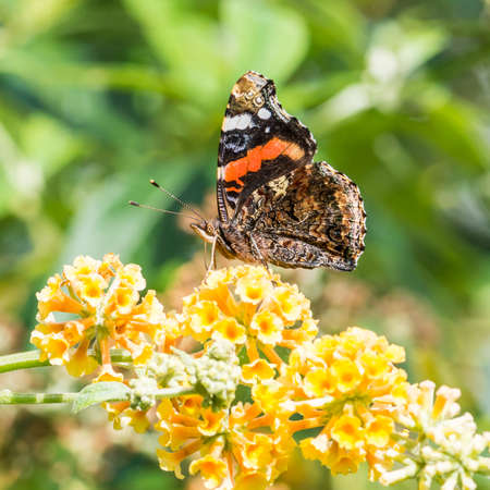 admiral: A macro shot of a red admiral butterfly collecting pollen from a butterfly bush.
