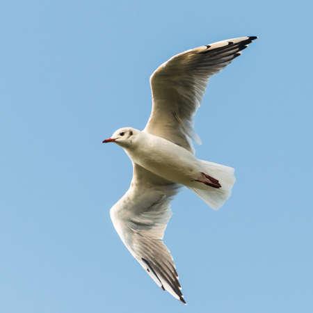 black headed: A shot of a black headed gull flying through a blue sky. Stock Photo