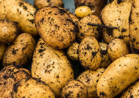 spud: A shot of some freshly dug charlotte potatoes.
