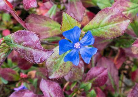 A macro shot of a bright blue plumbago bloom.
