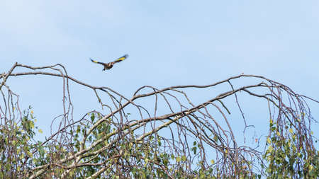goldfinch: A shot of a goldfinch in flight. Stock Photo