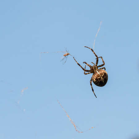 pursuing: A macro shot of a garden spider pursuing a fly. Stock Photo