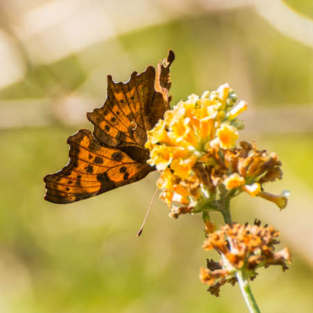 comma: A macro shot of a comma butterfly feeding from a yellow buddleia bloom.