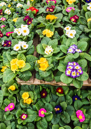 A shot of a collection of primrose winter bedding plants. Stock Photo