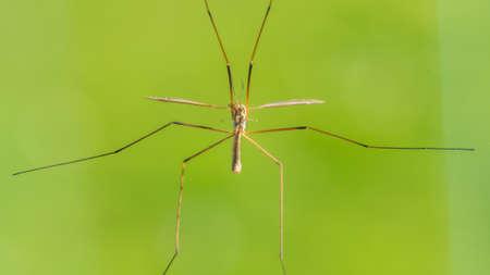 daddy long legs: A macro shot of the underside of a crane fly.