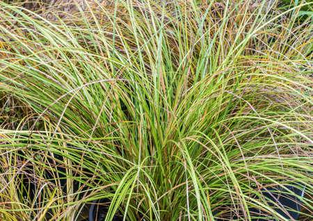 carex: A shot of some carex grass.