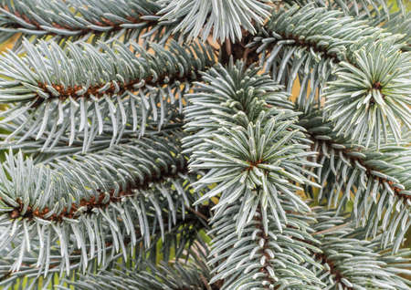 picea: A macro shot of the evergreen branches of a blue spruce tree. Stock Photo