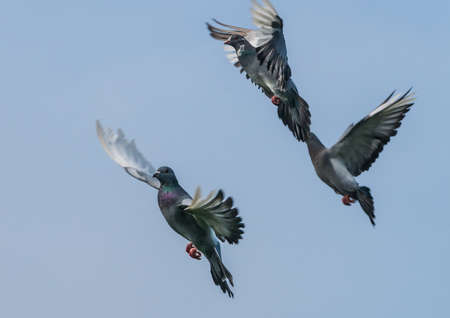 feral: A group of feral pigeons take to the sky. Stock Photo