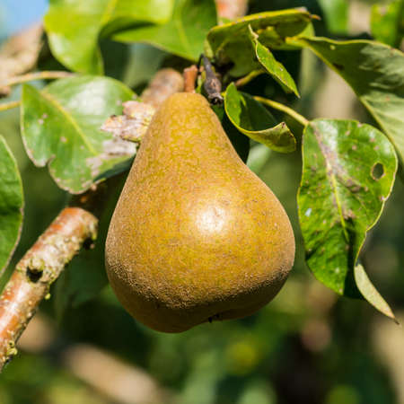A shot of a single ripe pear, ready to be picked from the tree. Stock Photo