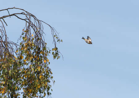 A shot of a goldfinch leaping from a tree.