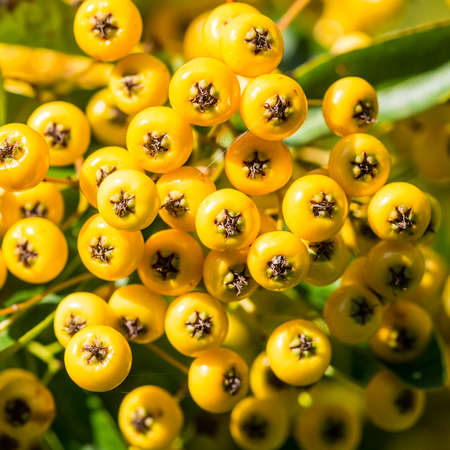 A macro shot of some yellow pyracantha berries.