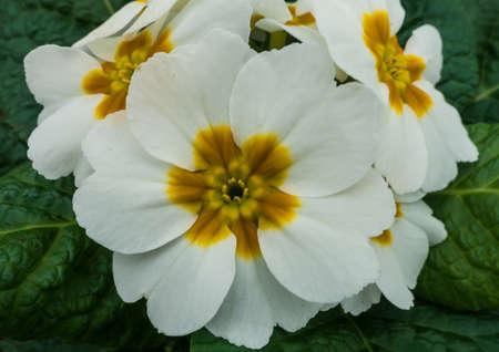 A macro shot of a white primrose bloom. Stock Photo