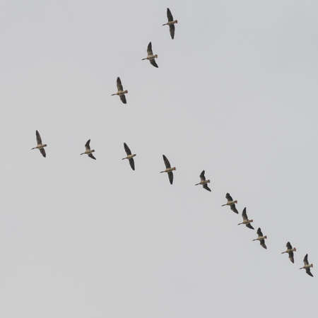 flocking: A V shaped formation of geese flock together through a grey sky. Stock Photo