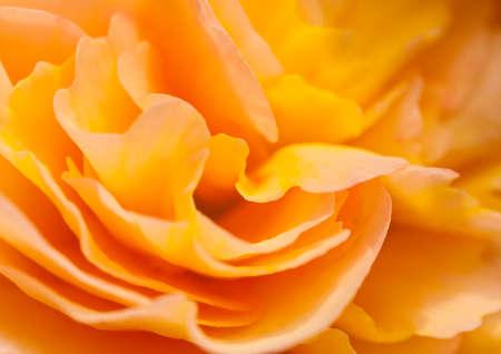 Een abstract schot van een mooie begonia bloei.