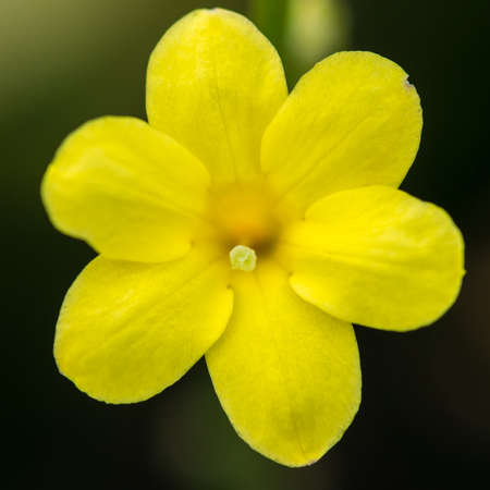 anther: A macro shot of a yellow winter jasmine bloom.