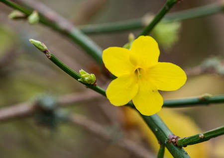 A macro shot of a yellow winter jasmine bloom.