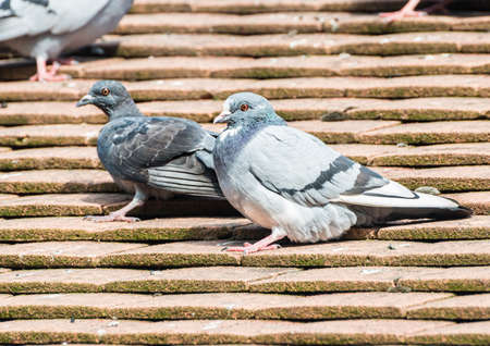 feral: A shot of a feral pigeon sitting on the roof of a house.