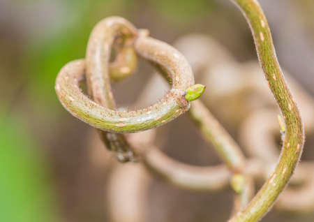 corylus: A macro shot of some twisted hazel branches.