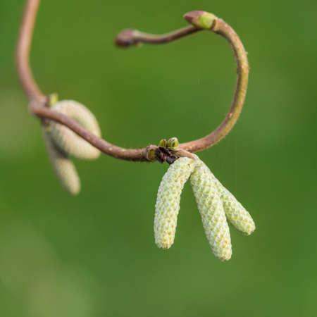 albero nocciola: Un colpo di macro di amenti da un albero di nocciolo contorto.