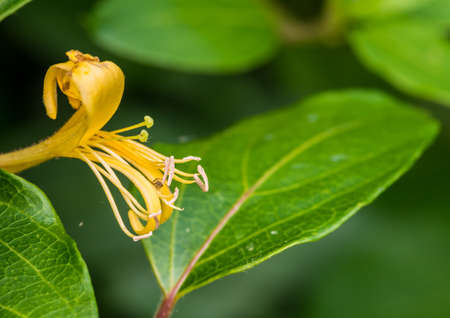 arachnid: A macro shot of a single yellow honeysuckle bloom with an attached arachnid.