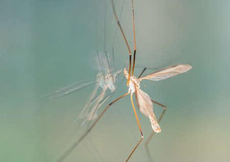 crane fly: A macro shot of a crane fly sitting on a window.