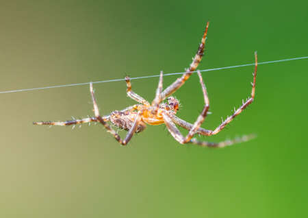 orb weaver: A macro shot of a garden spider walking a line of web. Stock Photo
